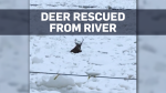 Deer rescued from Quebec river after falling throu