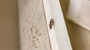 A cockroach is seen in a Calgary apartment building. (Martin's Pest Control)