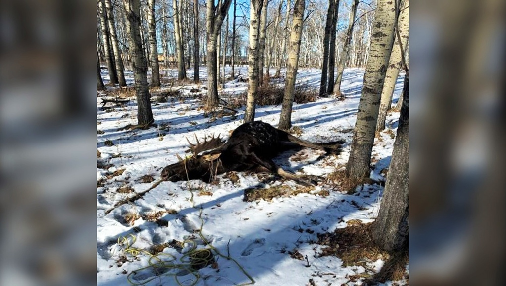 Moose found dead near Cochrane left illegally, Alberta Fish and Wildlife ask for tips