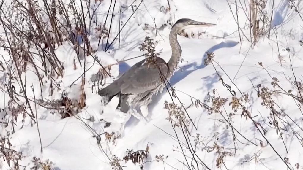 Alberta photographers help injured great blue heron fly south
