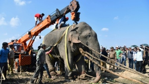 The elephant was tracked for days by forestry officers and tranquilized after a deadly rampage killed five villagers. (AFP)