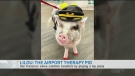 LiLou The Airport Therapy Pig