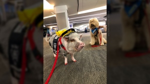 """LiLou is a four-year-old pig and is the only non-canine member of the """"wag brigade"""" at San Francisco International Airport. (Source: Tatyana Danilova)"""
