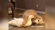 This dog and duck became fast friends