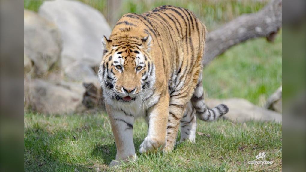 Katja Calgary Zoo tiger