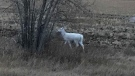 A white deer was spotted near Moose Jaw (Courtesy: Laurel Jenkin)