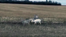 Rare albino deer spotted near Moose Jaw, Sask. hig