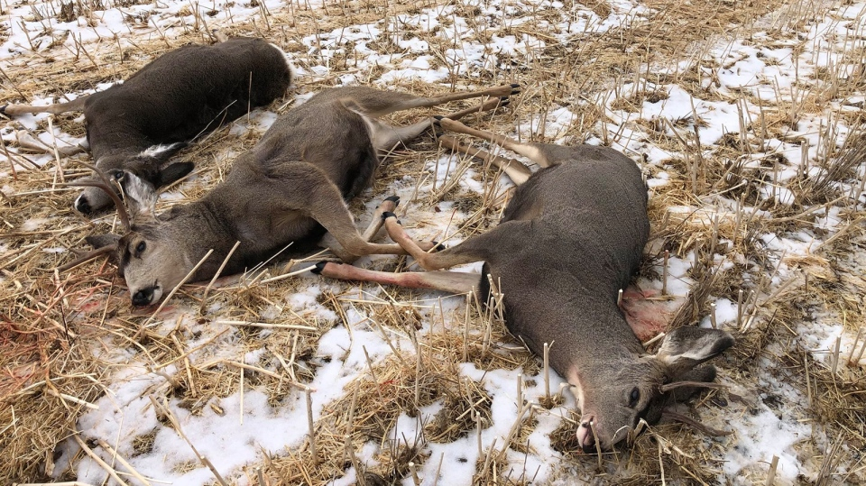 Three mule deer were shot dead without being harvested, in contravention to Alberta's Wildlife Act, near Vermillion over the weekend. Nov. 20, 2019. (Facebook/Alberta Fish and Wildlife)