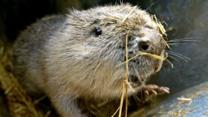 The National Trust aims to release Eurasian beavers at two sites in southern England early next year. (AFP)