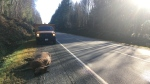 This elk was struck at 7 a.m. Wednesday on Highway 18 near Lake Cowichan. (CTV Vancouver Island)