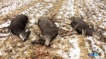 Poacher kills three deer