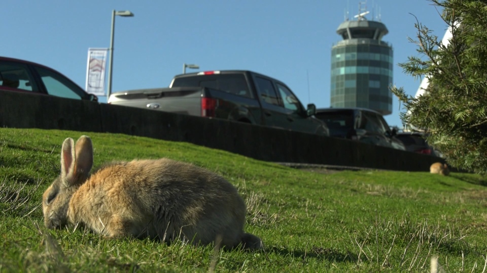 Rabbitats Rescue Society has been monitoring the animals and figures there are now 30 to 50  grazing the lawn near the airport's international terminal. (CTV)