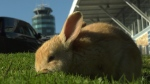 Rabbit at YVR