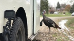 A Waukesha mailman is followed by a wild turkey from house to house as he makes his rounds. (WTMJ/CNN)