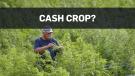 Is hemp the next big cash crop?