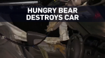 Hungry bear destroys car looking for food