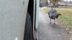 Wild turkey chases mailman everyday