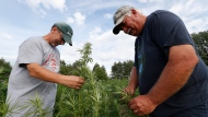 In this Aug. 21, 2019 photo, Jeff Dennings, left, and Dave Crabill industrial hemp farmers, check plants at their farm in Clayton Township, Mich. (AP Photo/Paul Sancya)