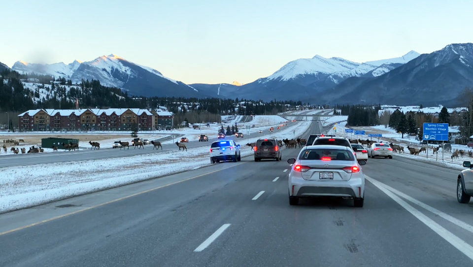 A herd of elk stopped traffic on the Trans-Canada highway outside Canmore, Alberta. Video courtesy Andy Arts Films