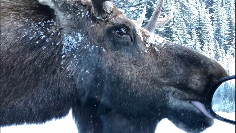 Moose, Kananaskis, licking, salt,