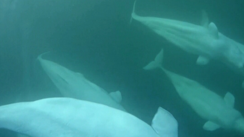 Microplastics found inside beluga whales in the Ar