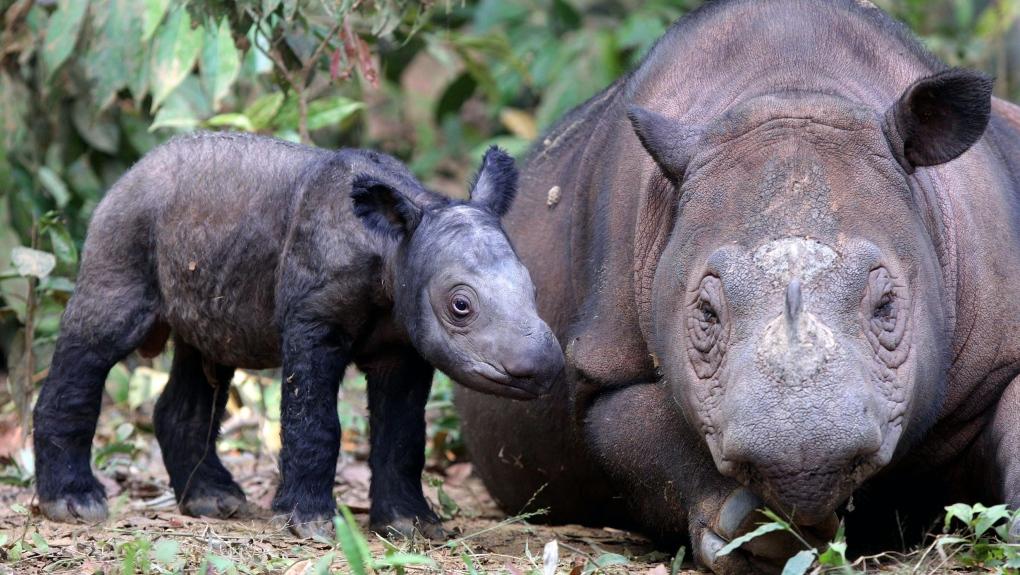Sumatran Rhino Is Extinct In Malaysia As Lone Survivor Dies Ctv News