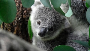 Australia fires devastate koala habitats