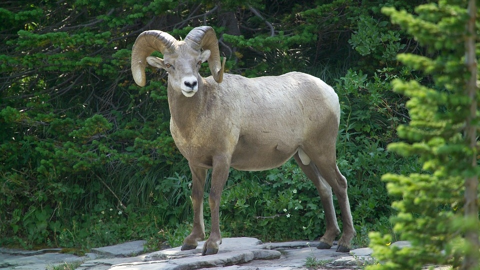 Escaped Central Saanich ram wrangled off street by Good Samaritans