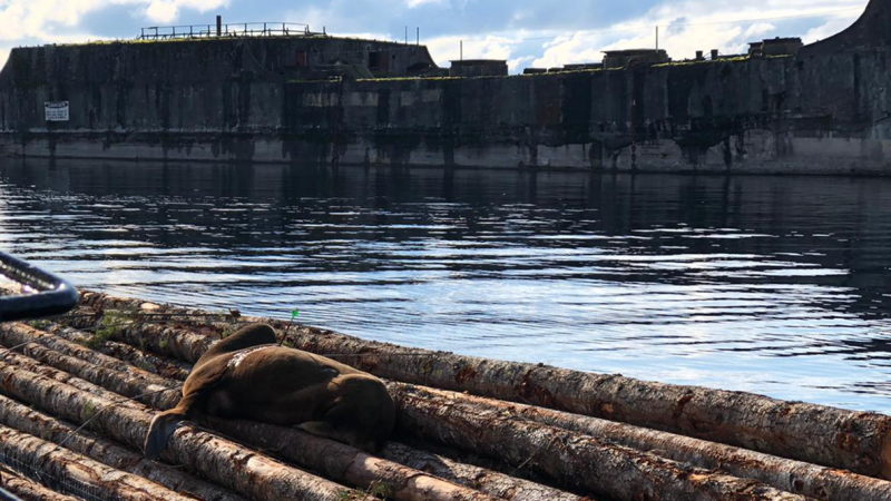 A photo from Ocean Wise shows injured sea lion 'Archie' on a log boom in Powell River, B.C.