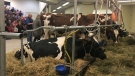Cows waiting for a milking demonstration at the Canadian Western Agribition in Regina. (Cole Davenport/CTV News)