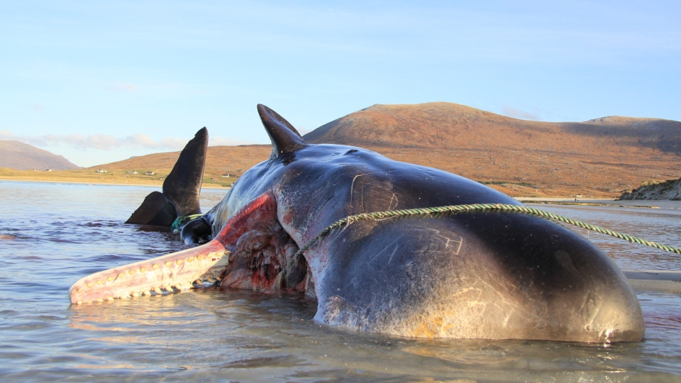 A young sperm whale that died after becoming stranded on a Scottish island last week had a ball of debris weighing roughly 100 kilograms in its stomach, according to an organization that carried out a postmortem on the animal. (Source: Scottish Marine Animal Strandings Scheme)