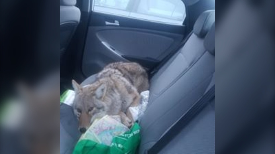Coyote in car