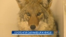 A Manitoba man put a coyote in his car after accidentally hitting it on the highway. He came back after work to find the coyote wide awake. (CTV News Winnipeg)