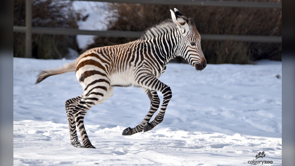 The foal was born Dec. 1 and can be seen at the African Savannah habitat. (Calgary Zoo)