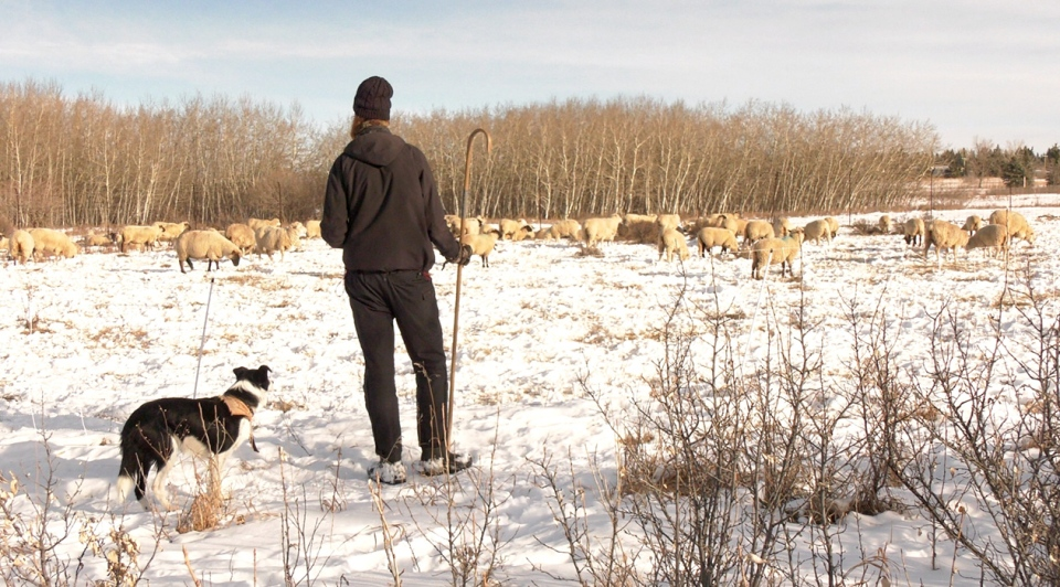 Jonathan Little of Creekside Goat Company overlooks the herd of sheep in Weaselhead Park