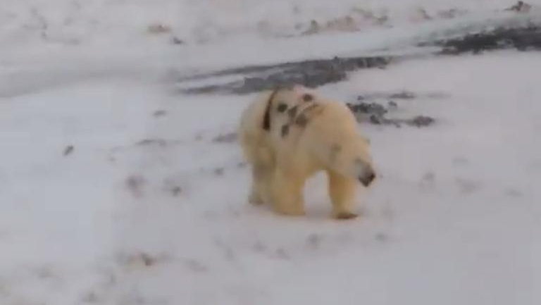 polar bear with graffiti