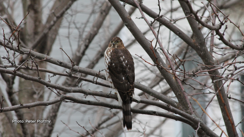 Barrhaven Backyard Hawk (Peter Platthy/CTV Viewer)