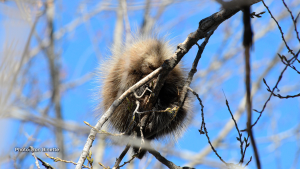 A porcupine sleeping way up (10 Meters) on a very thin branch at the Ingleside Bird Sanctuary. (Ron Binette/CTV Viewer)