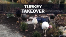 Wild turkeys terrorize B.C. town