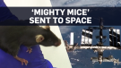 Mice to test muscle growth drug on ISS