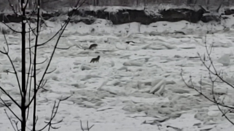 A pack of coyotes was stranded on the North Saskatchewan River but it eventually survived. Dec. 5, 2019. (Iouri Ponomarev)