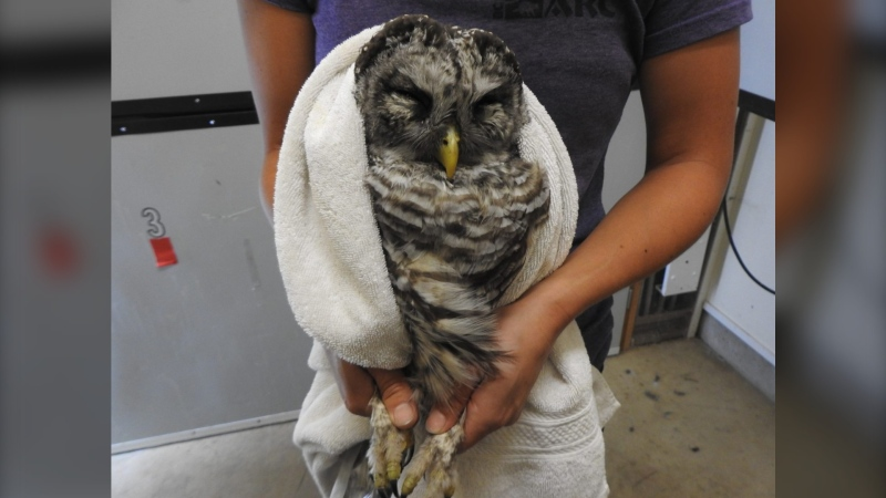 This barred owl was found at the side of the road near Cordova Bay on Vancouver Island. The owl appeared be suffering from head trauma and was very lethargic. (SPCA photo)