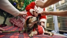 Sneezy waits patiently as he is dressed in a Christmas outfit during a holiday photo shoot Tuesday, Nov. 20, 2018, at the Berrien County Animal Control in Benton Harbor, Mich. The dog is one of many that are currently available for adoption.(Don Campbell/The Herald-Palladium via AP)