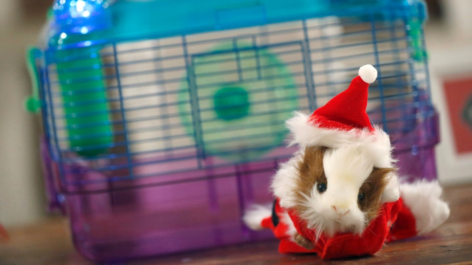 In this Thursday, Nov. 10, 2016 photo a guinea pig santa costume and a small pet habitat are on display at the PetSmart holiday collection preview in New York. More than half of dog owners and nearly 40 percent of cat owners buy their pets gifts for Christmas or Hanukkah, according to the American Pet Products Association, an industry trade group. (AP Photo/Mary Altaffer)