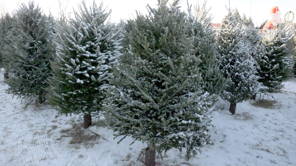 Drought, frost and recession a decade ago could result in a shortage of Christmas trees this year, says the Canadian Christmas Tree Growers Association.