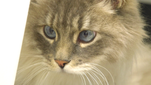 The cat's name, Blue Steel, is a reference to the movie Zoolander. The three-legged cat will be up for adoption in a few days.