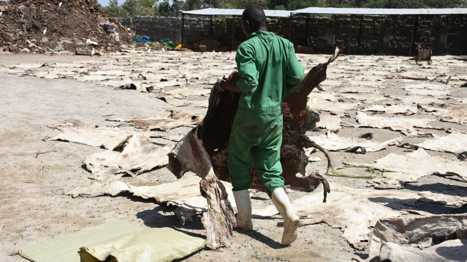 A worker carries a donkey hide at a slaughterhouse in Kenya. (Photo courtesy of The Donkey Sanctuary)