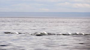 Beluga whales swim in front of Tadoussac Que. Aug. 15, 2014. (THE CANADIAN PRESS/Jacques Boissinot)