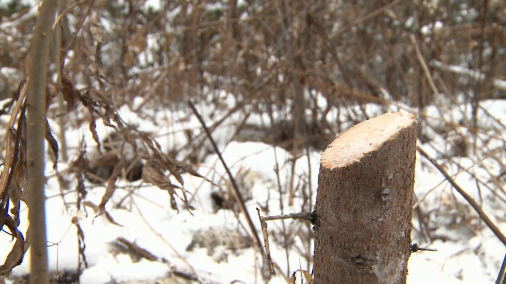 Grinch-like residents cutting Christmas trees on NCC property