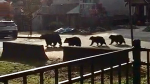 A family of bears is pictured in Port Coquitlam. Conservation officials said they had to be euthanized.